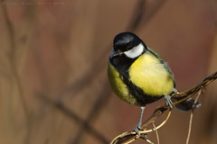 Parus major (shimie) Tags: extreme color canon vtak bird nature moss animal wald slovakia outdoor wildlife forest green l small les lens eos eye grass trava eyes usm oci 100mm
