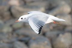 (Shane Jones) Tags: blackheadedgull gull bird birdinflight seabird flight wildlife nikon d500 200400vr tc14eii