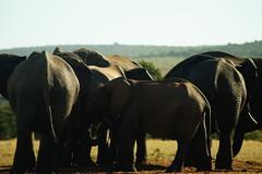 DSC03929 (Emily Hanley Photography) Tags: elephant elephants addo elephantpark nationalpark sa southafrica africa photography colour warthogs buffalo zebra waterhole rawimages raw nature naturalphotography animals animal