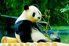 Male Giant Panda, Ri Ri of Ueno Zoo :  (Dakiny) Tags: 2016 autmn november japan taito ueno outdoor nature park uenopark zoo uenozoo creature animal mammal panda giantpanda riri nikon d7000 sigma apo 70200mm f28 ex hsm apo70200mmf28dexhsm sigmaapo70200mmf28dexhsm nikonclubit