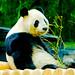 Male Giant Panda, Ri Ri of Ueno Zoo : ジャイアントパンダのリーリー♂(上野動物園)