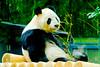 Male Giant Panda, Ri Ri of Ueno Zoo : ジャイアントパンダのリーリー♂(上野動物園) (Dakiny) Tags: 2016 autmn november japan taito ueno outdoor nature park uenopark zoo uenozoo creature animal mammal panda giantpanda riri nikon d7000 sigma apo 70200mm f28 ex hsm apo70200mmf28dexhsm sigmaapo70200mmf28dexhsm nikonclubit