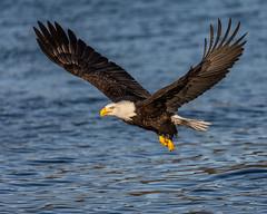 Bald Eagle Fly By (Andy Morffew) Tags: baldeagle flyby bif inflight kachemakbay alaska explored explore andymorffew morffew