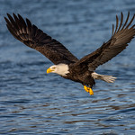Bald Eagle Fly By thumbnail