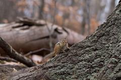 IMG_3866 (Rogelio Ramirez Moreno) Tags: quebec canada sainthilaire squirrel