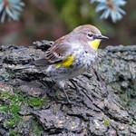 Yellow-rumped Warbler_Audubon's Warbler thumbnail