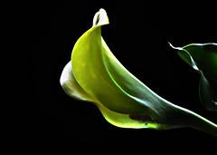 _DSC0004 Calla Lily (tsuping.liu) Tags: outdoor organicpatttern blackbackground bright blooming plant photoborder perspective petal passion photographt pattern photoboder nature natureselegantshots naturesfinest flower