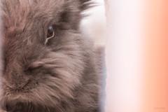 IMG_4080 (CornFee) Tags: 寵物 rabbit pets 兔 動物