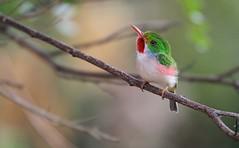 *** Todier de Cuba - Cuban Tody -todus multicolor (ricketdi) Tags: bird birdofcuba cubantody todier todierdecuba todusmulticolor explore18nov2016no5 specanimal ngc npc coth5