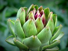 Artichoke (PeterCH51) Tags: artichoke plant cynara sweden uppsala botanicalgarden bud flowerbud bokeh peterch51
