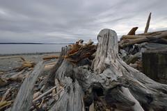 THE GATHERING  -  (Selected by GETTY IMAGES) (DESPITE STRAIGHT LINES) Tags: frenchbeach frenchbeachprovincialpark frenchbeachbc sooke riverjordan straitofjuandefuca driftwood driftwoodonabeach wood tree decay pebbles britishcolumbia bc canada vancouverisland nikon d800 nikond800 nikkor1424mm nikon1424mm island islands water wet sea waves wave tide tidal coast coastline coastal morning day paulwilliams despitestraightlines flickr ultrawideanglelens nikonholytrinity uwa ultrawide nature beauty naturalbeauty mothernature stone stones shore shoreline