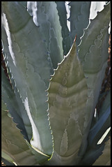 Agave 2015 #4 (hamsiksa) Tags: plants flora vegetation agavaceae agaves leaves vernation spines arizona sonorandesert xerophytes southwest botanicalgarden
