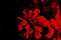 Intimate Details (Potent2020) Tags: zinnia ローズ ladyinred a abstract paint art reddish blossom mysterious flower redrose rose closeup red dark plant redmatrix