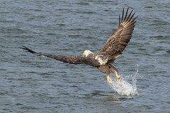 Bald Eagles at Conowingo Dam on 12-3-2016-455 (Scott Alan McClurg) Tags: accipitridae accipitriformes aves flickr hleucocephalus haliaeetus wildlifepreserve autumn baldeagle conowingo damp eagle fall fich fishing flap flapping flight flock flying hunt hunting life maryland nature naturephotogtaphy photography preserve resevoir soaring susquehanna water wild wildlife young dam