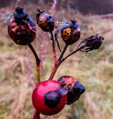 beauty is in the eye of the beholder (watergypsyrach) Tags: rosehips raindrops ladybird decay colourful contrast nikoncoolpixs7000 nature