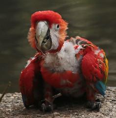 scarlet macaw   Ouwehands JN6A6604 (j.a.kok) Tags: ouwehands ouwehandsdierenpark ouwehandszoo vogel ara macaw bird