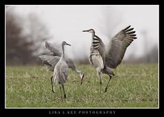"""Dance With Me"" (Lisa L Kee Photography) Tags: lisalkeephotography lisalkee canon canon7d canon500mmf45 500mm indiana jasperpulaski sandhillcranes cranes usfw jasperpulaskifishwildlifearea"