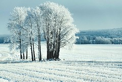 Frozen fields (Adriana Faciu) Tags: trees field flakes glass winter snow aftermath fog ice frozen frost hoarfrost