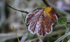 leaf with ice (bugman11) Tags: ice autumn nature canon leaf leaves flora macro nederland thenetherlands 100mm28lmacro 1001nightsmagiccity 1001nights thegalaxy platinumheartaward