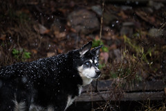 First Snowfall (Mason Aldridge) Tags: puppy dog pup cute sweet husky alaskan snowfall winter snow frost ice adorable aww portrait pet pets canon 6d 80200 80200mm magicdrainpipe drainpipe 70200 f28 28