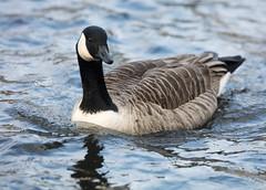 Canada Goose (1) (grahamh1651) Tags: helstonboatinglake birds gulls ducks geese waterbirds swans