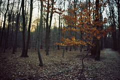 Tree of Life (SB Photographie) Tags: tree arbre trees wood forest foret bois cambre bruxelles automne autumn nature feuilles leaves road route chemin soir evening sun light soleil couché silhouette shadow ombre lumiere argentique analogue camera old film konica auto s3 kodak porta
