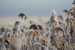 cold bouquet (beta karel) Tags: betakarel 2016 landscape nature white winter dutch flevoland oostvaardersplassen almere explore