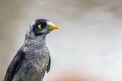 Miner Bird (glendamaree) Tags: bird birds australianbirds australia nature minerbird nikon d750