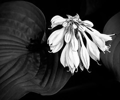 Botanical Study #1 - Stanley Park (FotoMaker01) Tags: flowers floral leaves vancouver botanical blackwhite stanleypark topazblackwhiteeffects topazglow