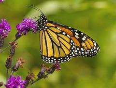 Monarch, female (Danaus plexippus) (AllHarts) Tags: ngc npc lbl fishisland monarchdanausplexippus butterflygallery cadizky naturescarousel lakebarkleylodge challengeclubchampions