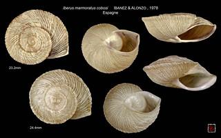iberus marmoratus cobosi espagne planche