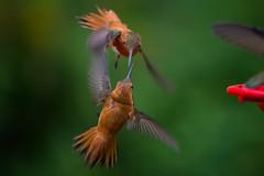 Hummingbird Combat (virtualwayfarer) Tags: usa detail nature beautiful birds closeup canon us flying nationalpark fight colorado hummingbird flight roadtrip charm nationalforest sanjuan co fowl elegant fighting dslr combat upclose graceful hovering 6d canon6d hummingbirdcharm sanjuanforest