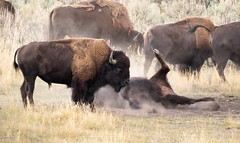 Bison (chasingthewildoutdoors) Tags: park summer nature animal canon outdoor wildlife sigma national yellowstone wildliffe yellowstonewildlife 7dii