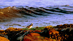 Late evening on the seashore (Rivertracker) Tags: birds infocus highquality beadnell