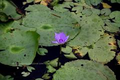 IMG_4198 (singaporeplantslover) Tags: nymphaea   lotus