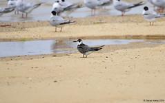 Black Tern (Chlidonias niger) (Steve Arena) Tags: nikon provincetown massachusetts d750 tern 2015 blacktern chlidoniasniger marshtern blte hatchesharbor