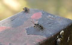 2015_Kardoskt_0441 (emzepe) Tags: bug insect hungary nap ungarn 2015 hongrie napja rovar sz szeptember bogr kardoskt fehrt nylt olvaskr pusztakzpont kardoskti
