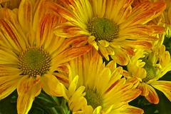 Mums the word (Pureheart11) Tags: autumn yellow bright ngc chrysanthemums coth coth5 sunrays5