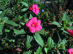 Pavonia schrankii Spreng. 1826 (MALVACEAE) (helicongus) Tags: spain malvaceae pavonia jardnbotnicodeiturraran pavoniaschrankii