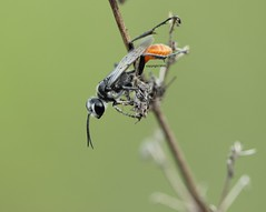 Ko Samui Sphecidae, can anybody help with ID? (Phil Arachno) Tags: thailand kohsamui kosamui arthropoda tha hymenoptera insecta hexapoda ammophila sphecidae