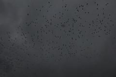 109 (Guillermo Santander) Tags: sky blackandwhite white black bird blancoynegro blanco birds clouds eos rebel kiss negro flock group pajaros cielo nubes pajaro x4 bandada 550d t2i canoneos550d canoneosrebelt2i rebelt2i kissx4 canoneoskissx4