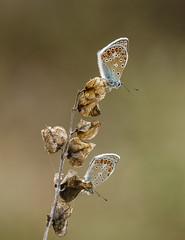 Duo de petits bleus (Mariette80) Tags: papillon isre argusbleu
