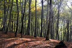 Tappeto di foglie secche nella faggeta di monte Fogliano (giorgiorodano46) Tags: bosco faggio faggi faggeta fogliesecche monticimini montefogliano novembre2015