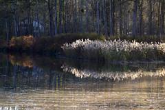 In den Donauauen bei Erla (staretschek) Tags: erla schilf gegenlicht donauau