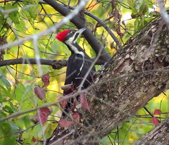 IMG_4482-1 Pileated Woodpecker (John Pohl2011) Tags: bird canon john pohl perching sx50hs canonsx50hs