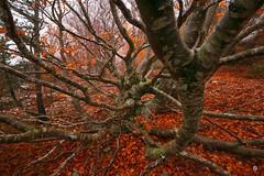 The sprawling beech / L'htre tentaculaire (Laurent J. ZL) Tags: fog provence mont beech brume sud 84 vaucluse ventoux serein hetre laurentjzl laurentjouffre loeildelaurent