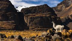 Cordillera Real trek (happy.apple) Tags: animals trek geotagged llama bolivia glacier cordillerareal