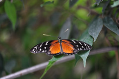 Heliconius sp JVA_0891 (mrjean.eu) Tags: sara sp atlas demi insectes attacus papillons heliconiinae deuil heliconius phaetusa dryatula