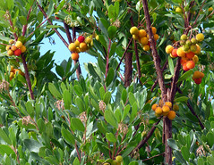 "Arbutus:  known as 'the Strawberry tree"" (ronmcbride66) Tags: italy fruit arbutus bergamo strawberrytree lombardy lowhangingfruit arbutusfruit"