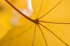 Nature Autumnal (alicefotoland) Tags: autumn wallpaper nature closeup golden maple background details autumnal